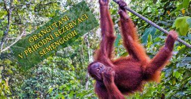 Orangutani v přírodní rezervaci Semanggoh