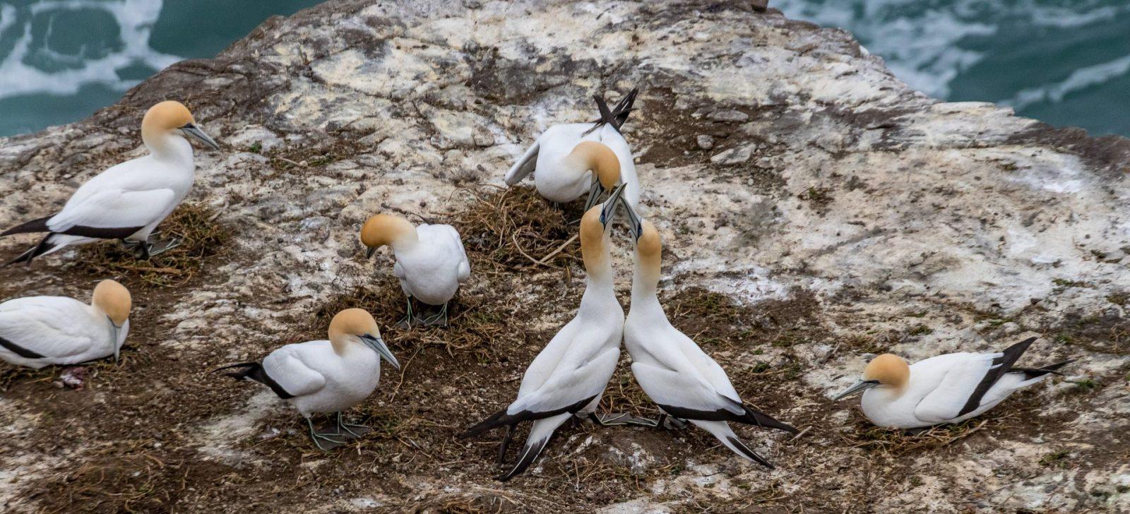 Koncem zimy se terejové vrací z Austrálie na zélandské útesy a začínají námluvy a hnízdění