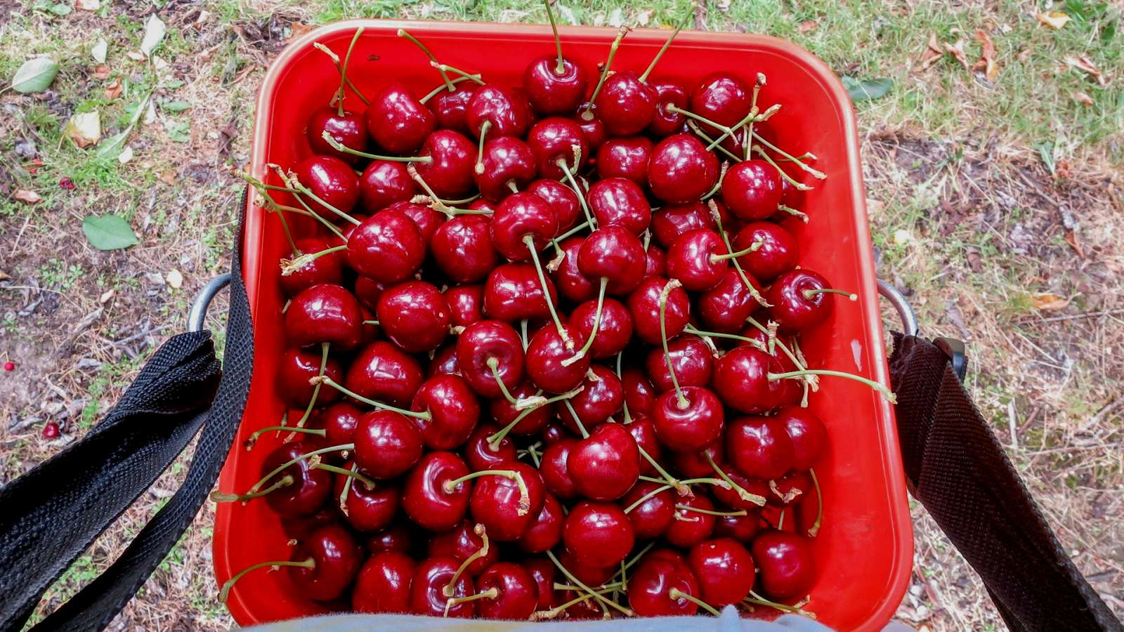 9. Naše první práce na sadu - cherry picking